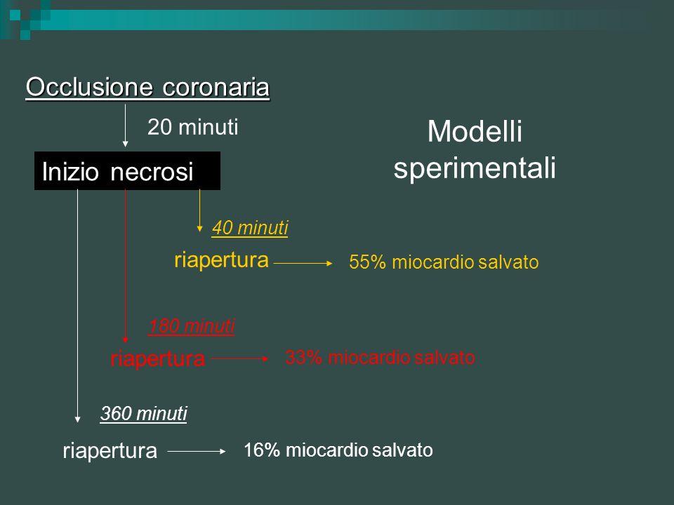Modelli sperimentali Occlusione coronaria 20 minuti Inizio necrosi 40 minuti riapertura 55% miocardio salvato 180 minuti riapertura 33% miocardio salv