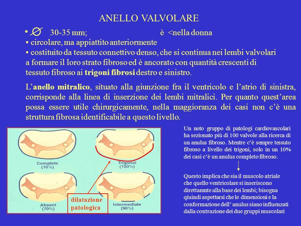 ANELLO VALVOLARE 30-35 mm; è <nella donna circolare, ma appiattito anteriormente costituito da tessuto connettivo denso, che si continua nei lembi val