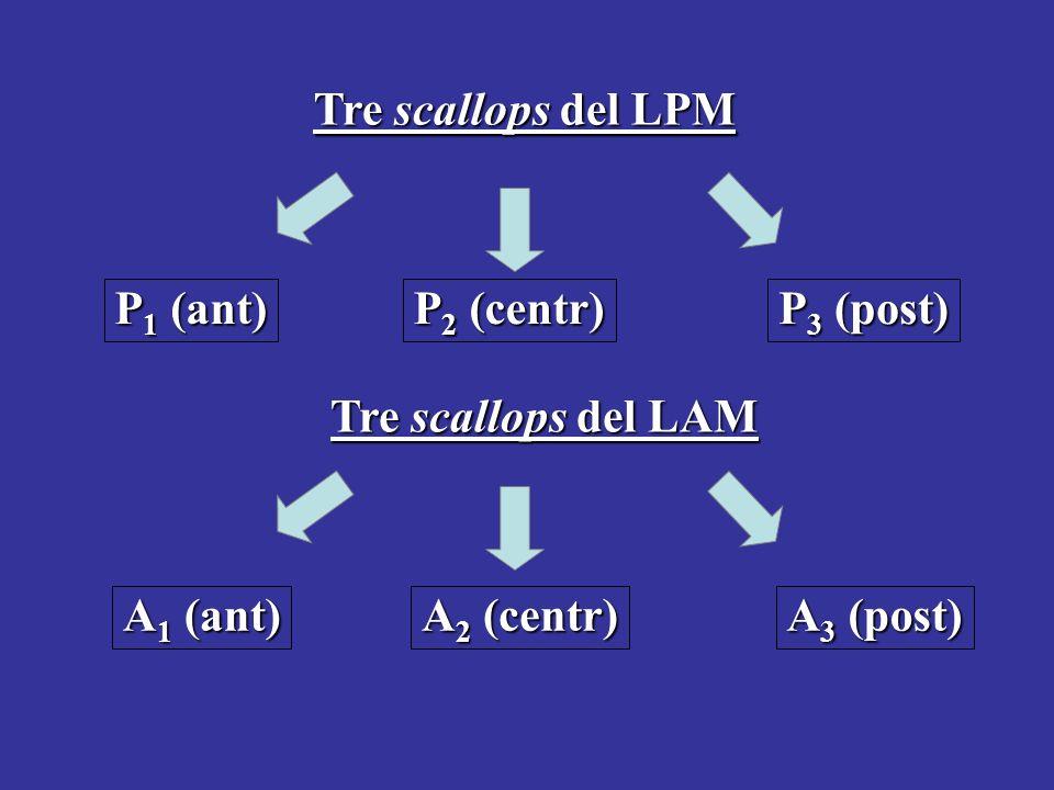 Tre scallops del LPM P 1 (ant) P 2 (centr) P 3 (post) Tre scallops del LAM A 1 (ant) A 2 (centr) A 3 (post)