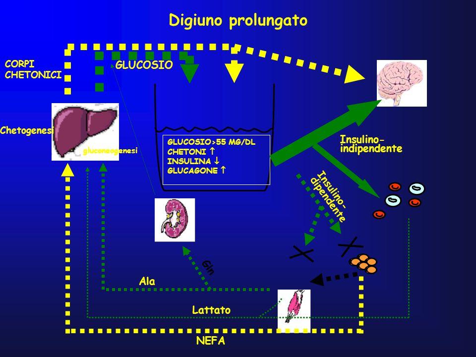 Digiuno prolungato GLUCOSIO>55 MG/DL CHETONI INSULINA GLUCAGONE NEFA Lattato Ala Gln CORPI CHETONICI GLUCOSIO Insulino- indipendente Insulino- dipende
