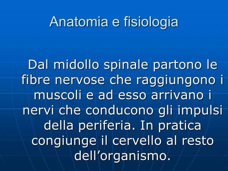 Anatomia e fisiologia Dal midollo spinale partono le fibre nervose che raggiungono i muscoli e ad esso arrivano i nervi che conducono gli impulsi della periferia.
