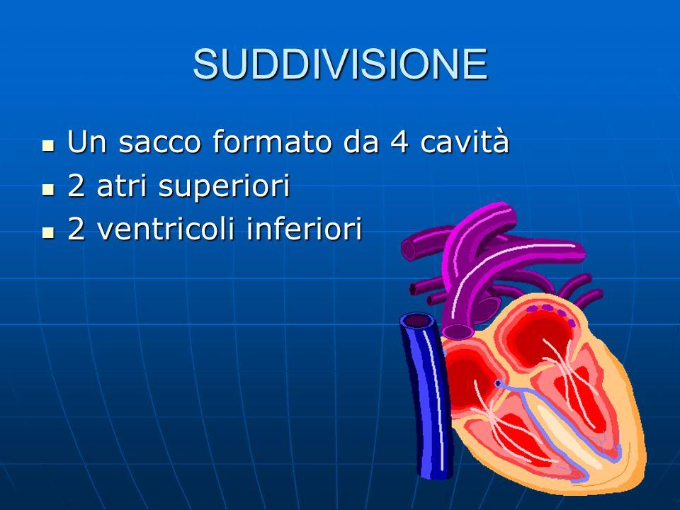 SUDDIVISIONE Un sacco formato da 4 cavità Un sacco formato da 4 cavità 2 atri superiori 2 atri superiori 2 ventricoli inferiori 2 ventricoli inferiori
