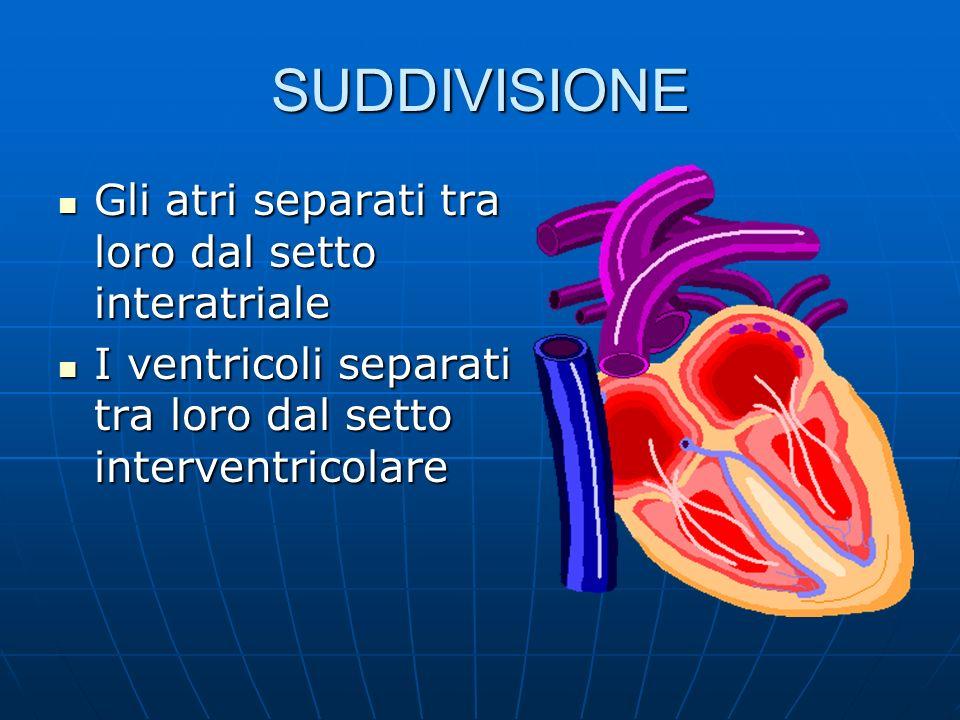SUDDIVISIONE Gli atri separati tra loro dal setto interatriale Gli atri separati tra loro dal setto interatriale I ventricoli separati tra loro dal setto interventricolare I ventricoli separati tra loro dal setto interventricolare