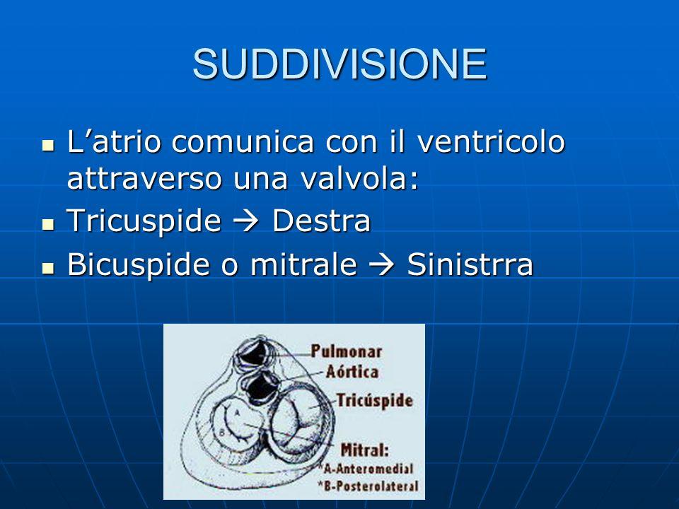 SUDDIVISIONE Latrio comunica con il ventricolo attraverso una valvola: Latrio comunica con il ventricolo attraverso una valvola: Tricuspide Destra Tri
