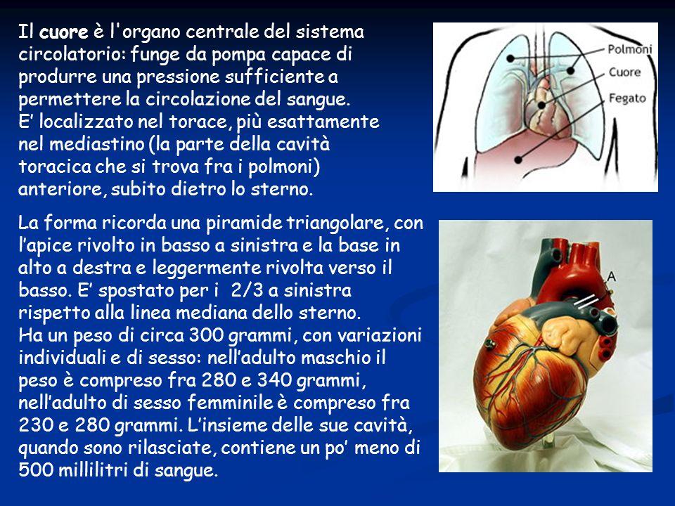 Il cuore è l'organo centrale del sistema circolatorio: funge da pompa capace di produrre una pressione sufficiente a permettere la circolazione del sa