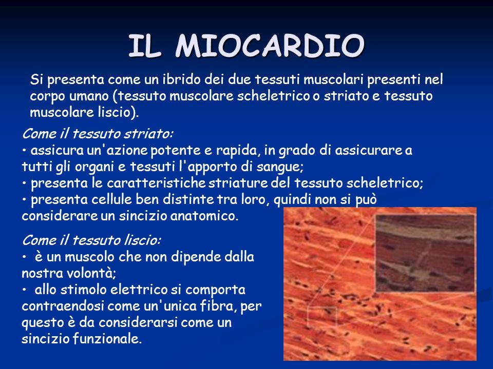 Si presenta come un ibrido dei due tessuti muscolari presenti nel corpo umano (tessuto muscolare scheletrico o striato e tessuto muscolare liscio). IL