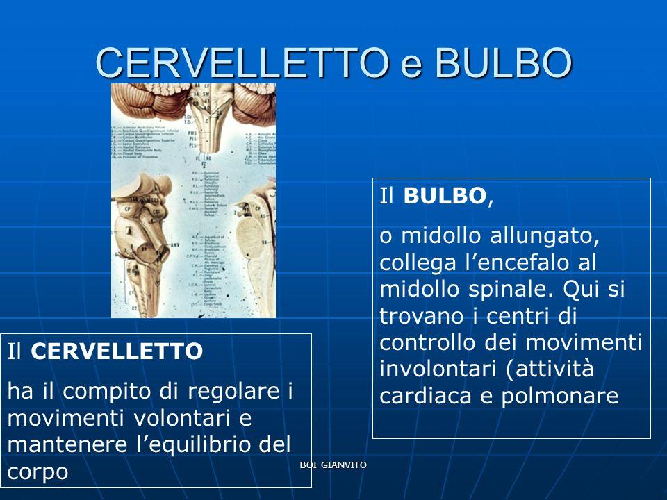 BOI GIANVITO CERVELLETTO e BULBO Il CERVELLETTO ha il compito di regolare i movimenti volontari e mantenere lequilibrio del corpo Il BULBO, o midollo