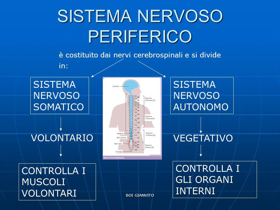 BOI GIANVITO SISTEMA NERVOSO PERIFERICO è costituito dai nervi cerebrospinali e si divide in: SISTEMA NERVOSO SOMATICO SISTEMA NERVOSO AUTONOMO VOLONTARIO CONTROLLA I MUSCOLI VOLONTARI VEGETATIVO CONTROLLA I GLI ORGANI INTERNI