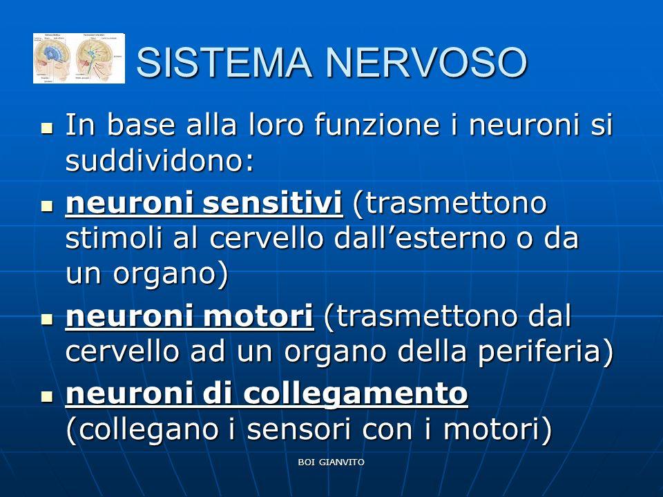 BOI GIANVITO SISTEMA NERVOSO In base alla loro funzione i neuroni si suddividono: In base alla loro funzione i neuroni si suddividono: neuroni sensitivi (trasmettono stimoli al cervello dallesterno o da un organo) neuroni sensitivi (trasmettono stimoli al cervello dallesterno o da un organo) neuroni motori (trasmettono dal cervello ad un organo della periferia) neuroni motori (trasmettono dal cervello ad un organo della periferia) neuroni di collegamento (collegano i sensori con i motori) neuroni di collegamento (collegano i sensori con i motori)
