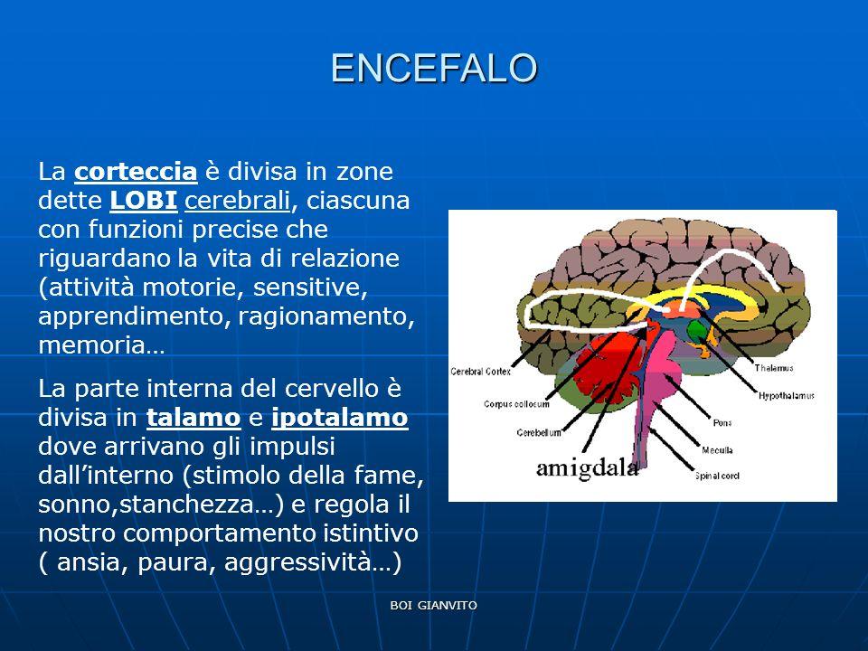 BOI GIANVITO ENCEFALO La corteccia è divisa in zone dette LOBI cerebrali, ciascuna con funzioni precise che riguardano la vita di relazione (attività