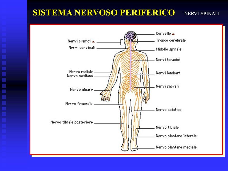 SISTEMA NERVOSO PERIFERICO NERVI SPINALI