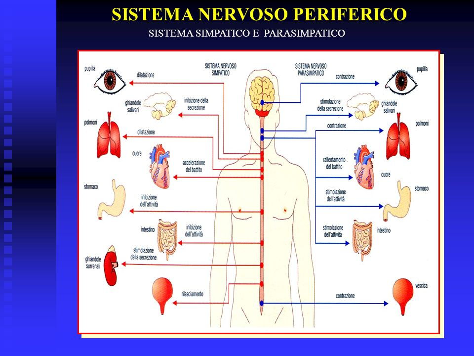 SISTEMA NERVOSO PERIFERICO SISTEMA SIMPATICO E PARASIMPATICO