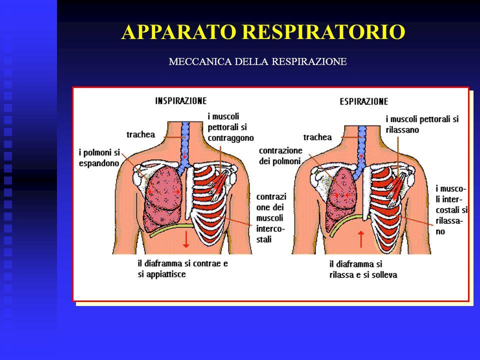 APPARATO RESPIRATORIO MECCANICA DELLA RESPIRAZIONE
