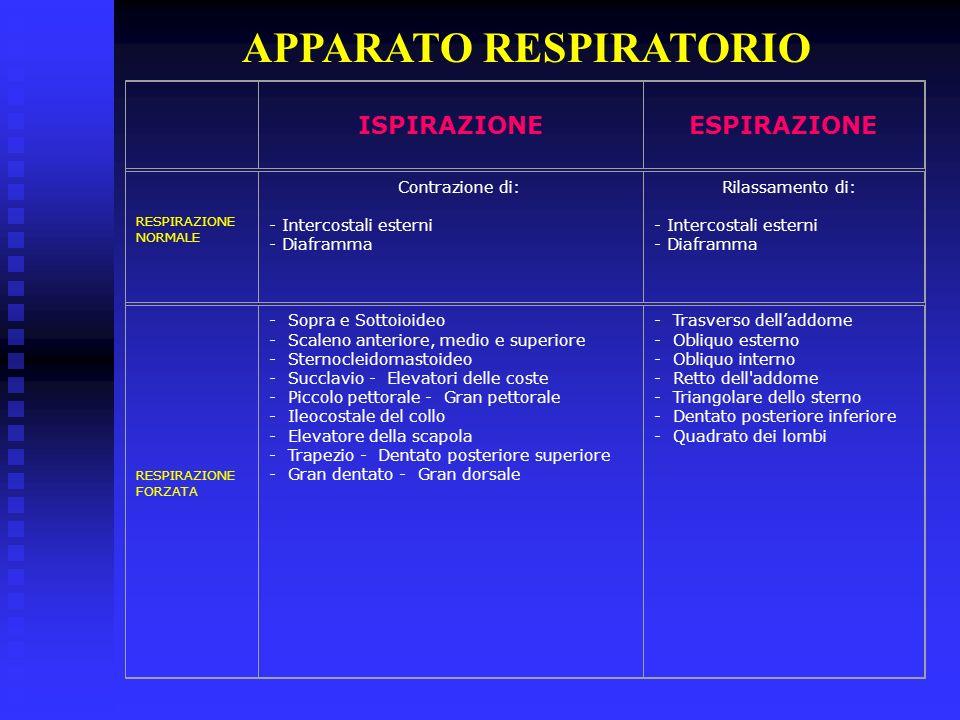 APPARATO RESPIRATORIO ISPIRAZIONEESPIRAZIONE RESPIRAZIONE NORMALE Contrazione di: - Intercostali esterni - Diaframma Rilassamento di: - Intercostali e