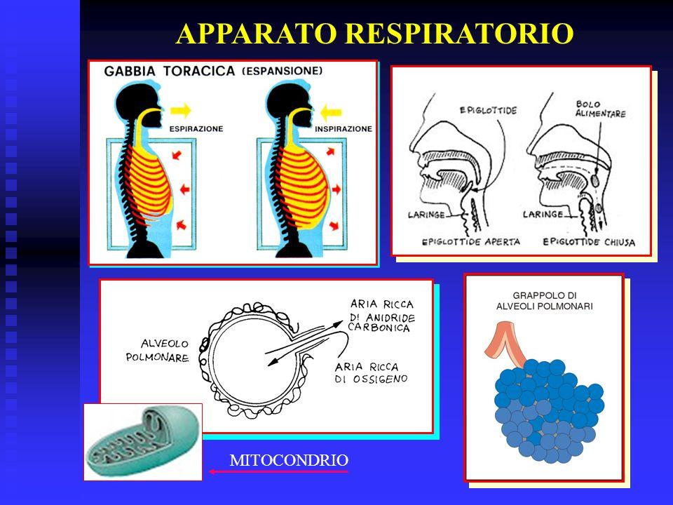 APPARATO RESPIRATORIO MITOCONDRIO