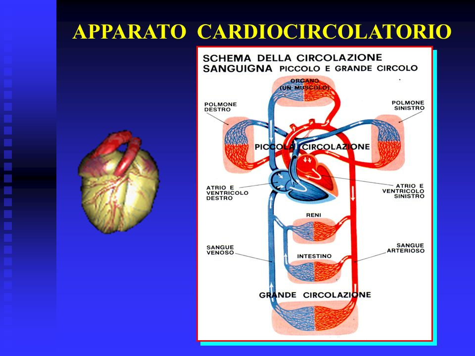 APPARATO CARDIOCIRCOLATORIO