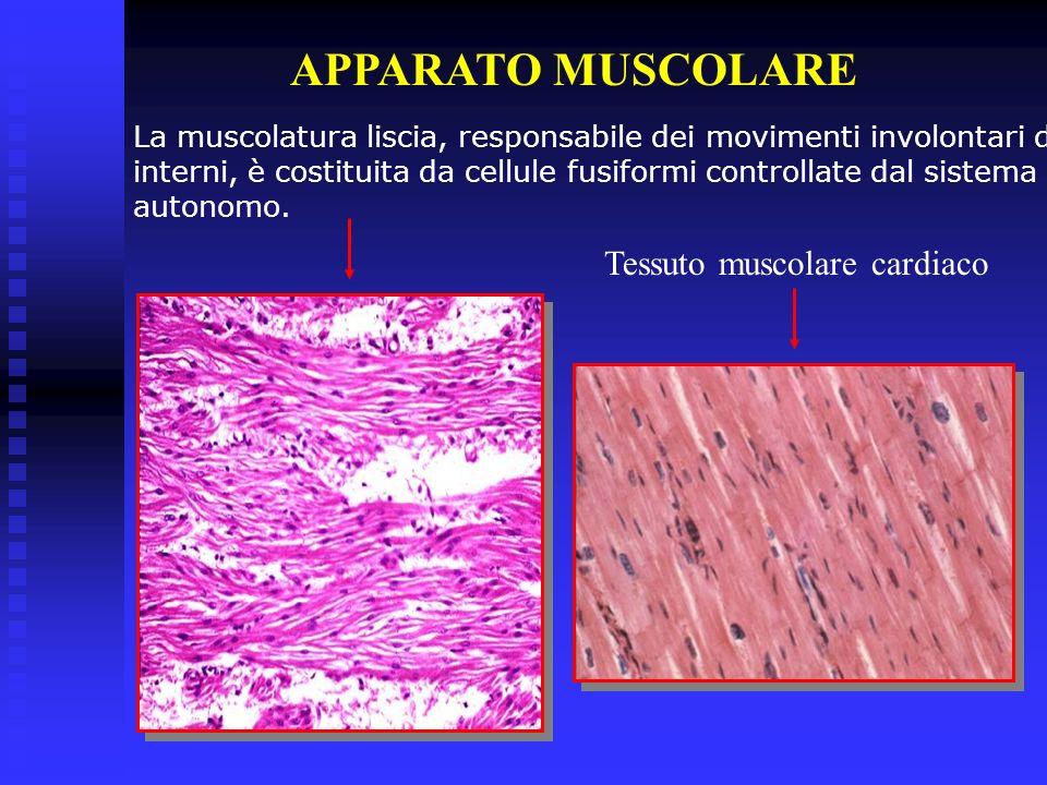 APPARATO MUSCOLARE La muscolatura liscia, responsabile dei movimenti involontari degli organi interni, è costituita da cellule fusiformi controllate d