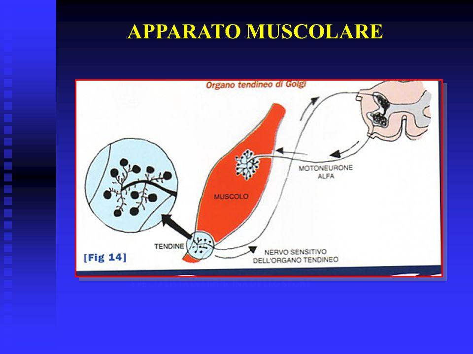 DR. STEFANO BARATIERI SPECIALISTA IN MEDICINA DELLO SPORT APPARATO MUSCOLARE