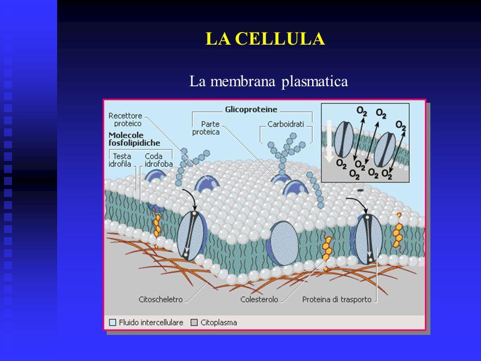 LA CELLULA Il nucleo è presente in tutte le cellule eucarioti, (le cellule degli organismi più evoluti).