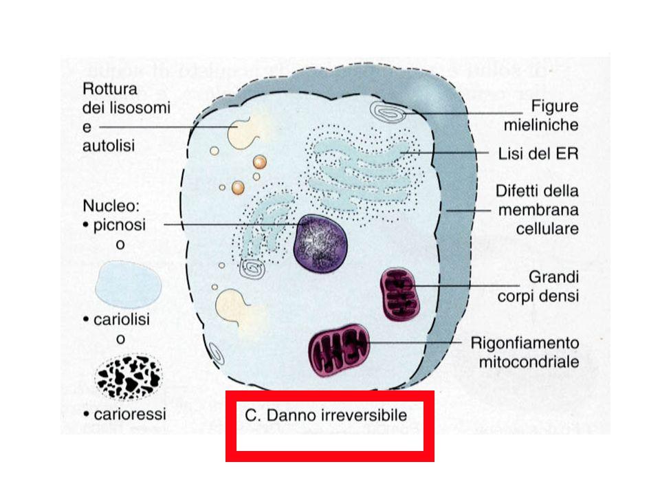 Accumuliintracellulari