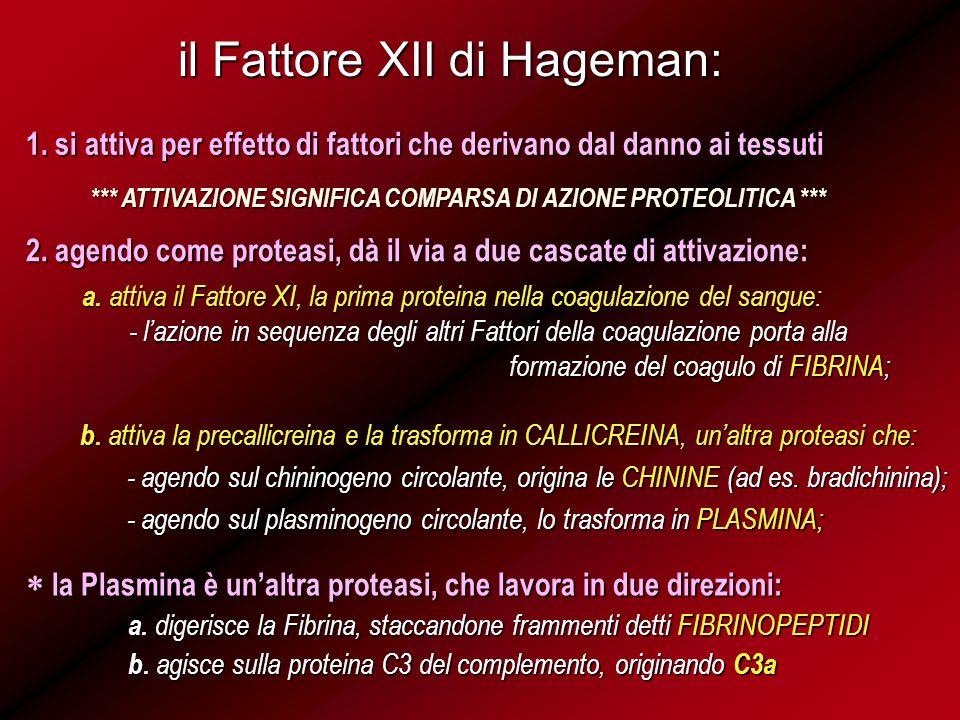 il Fattore XII di Hageman: 1. si attiva per effetto di fattori che derivano dal danno ai tessuti *** ATTIVAZIONE SIGNIFICA COMPARSA DI AZIONE PROTEOLI