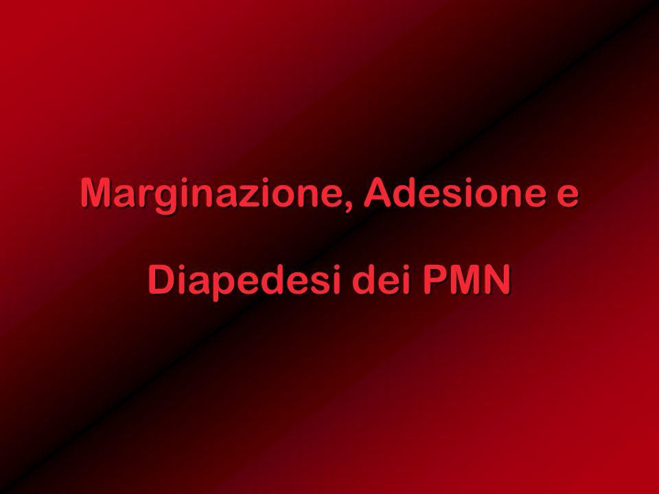 Marginazione, Adesione e Diapedesi dei PMN