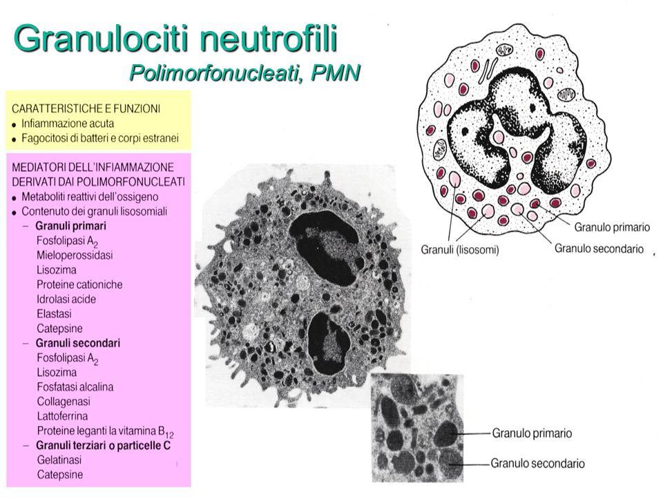 Granulociti neutrofili Polimorfonucleati, PMN