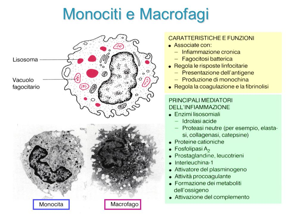 Monociti e Macrofagi