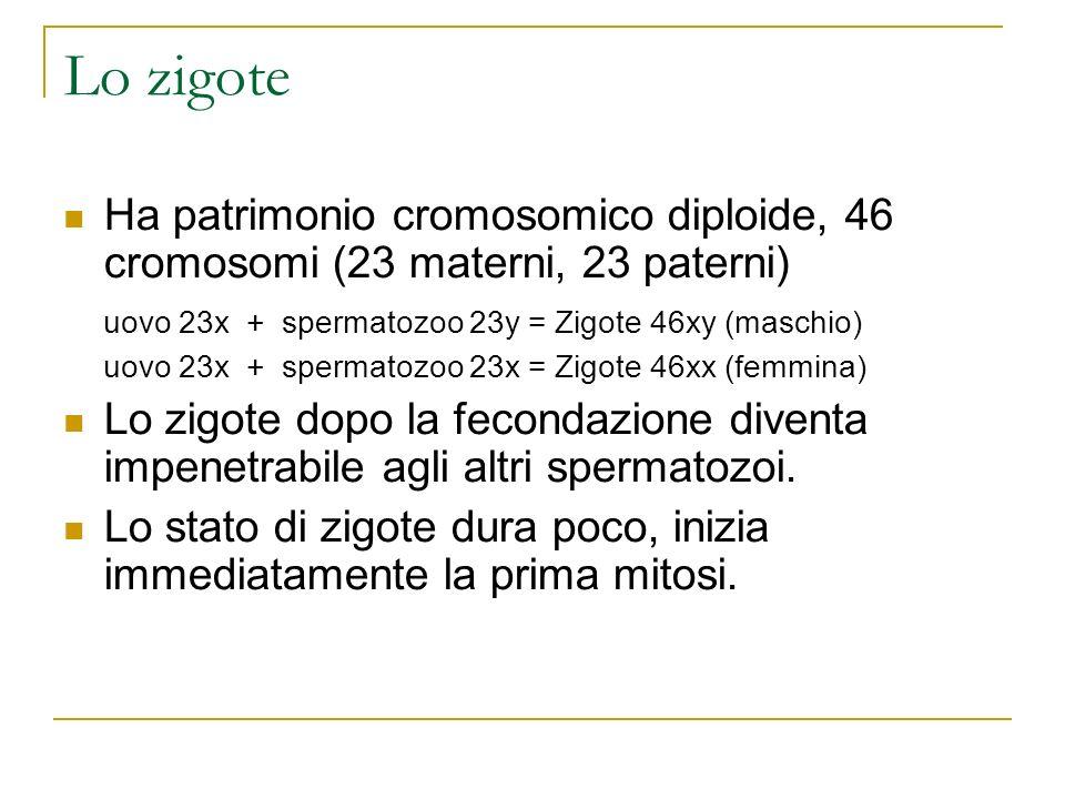Lo zigote Ha patrimonio cromosomico diploide, 46 cromosomi (23 materni, 23 paterni) uovo 23x + spermatozoo 23y = Zigote 46xy (maschio) uovo 23x + sper
