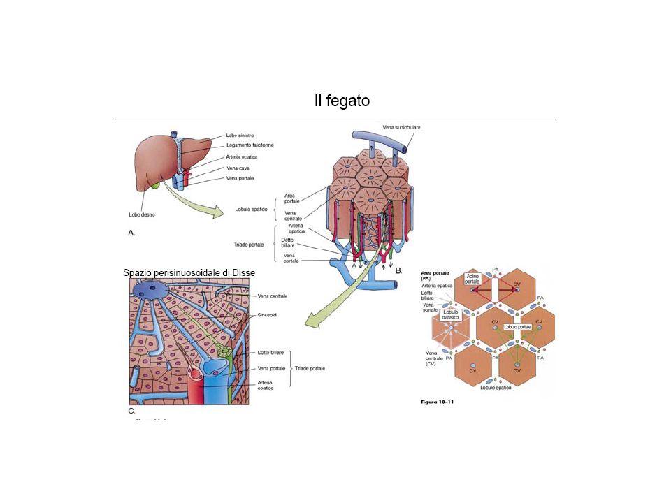 Il FEGATO è il più grande organo corporeo (1-1,5 kg): 1,5-2,5% della massa magra non è facilmente esplorabile con la semeiotica fisica per collocazione anatomica e struttura parenchimale
