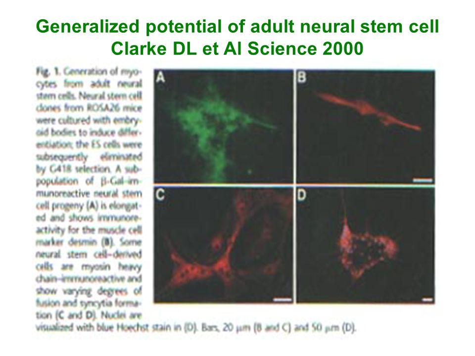 Generalized potential of adult neural stem cell Clarke DL et Al Science 2000