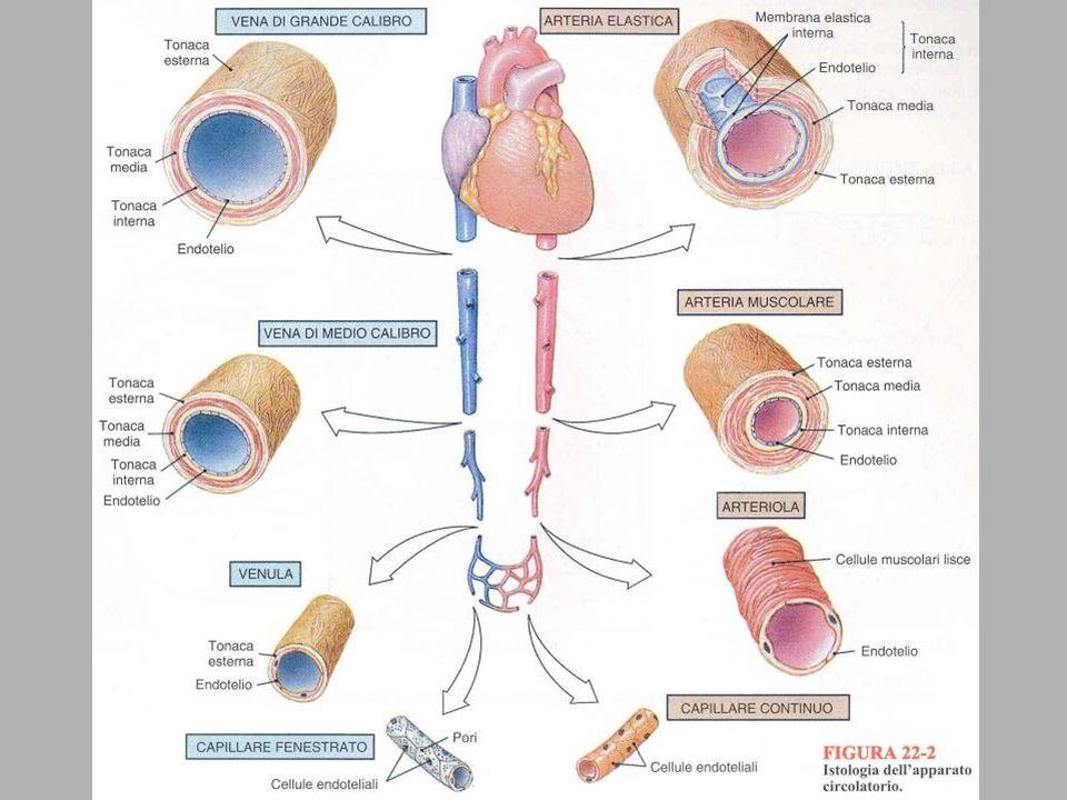circolazione anastomotica arteriosa superficiale