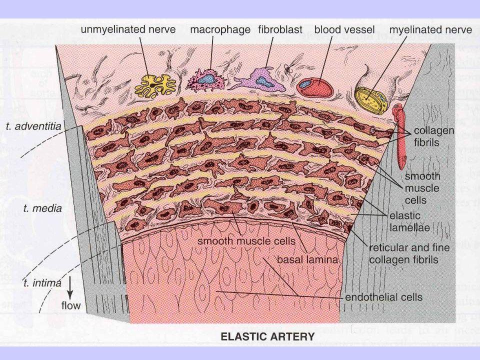 struttura di unarteria di grosso calibro