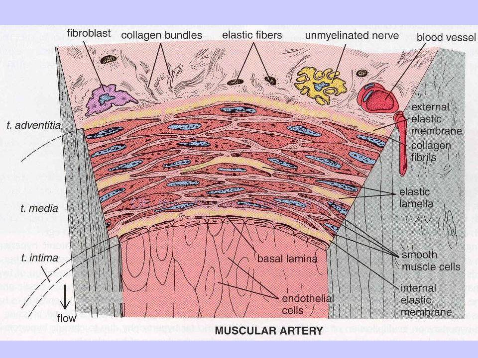 Vena di piccolo calibro muscolatura liscia disposta in due strati nella tonaca media (circolare interno e longitudinale esterno) Vena di grosso calibro muscolatura liscia circolare nella tonaca media e longitudinale nella tonaca avventizia