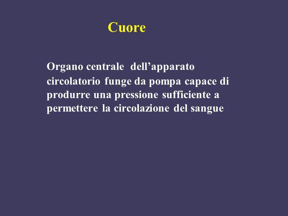 Cuore Organo centrale dellapparato circolatorio funge da pompa capace di produrre una pressione sufficiente a permettere la circolazione del sangue