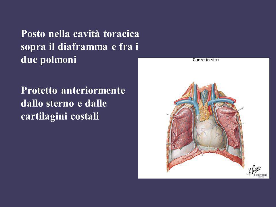 Posto nella cavità toracica sopra il diaframma e fra i due polmoni Protetto anteriormente dallo sterno e dalle cartilagini costali