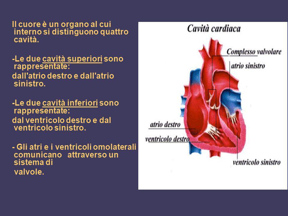 Il cuore è un organo al cui interno si distinguono quattro cavità. -Le due cavità superiori sono rappresentate: dall'atrio destro e dall'atrio sinistr