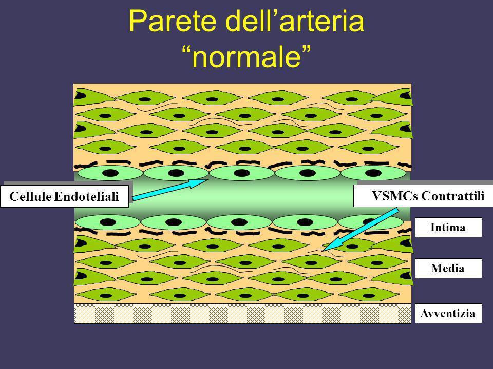 Cellule Endoteliali VSMCs Contrattili Parete dellarteria normale Avventizia Media Intima