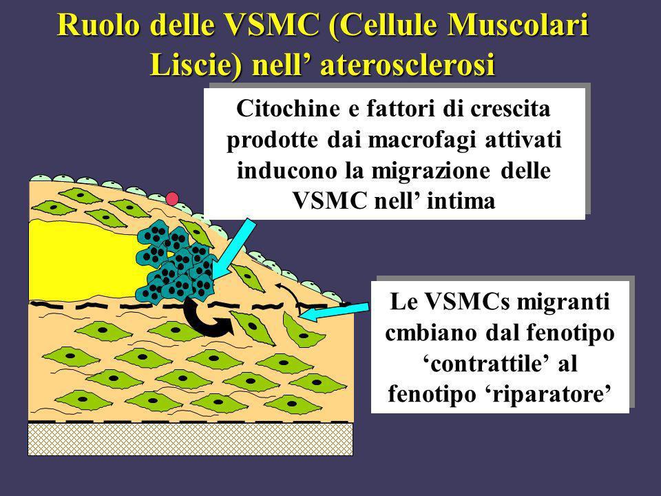 Citochine e fattori di crescita prodotte dai macrofagi attivati inducono la migrazione delle VSMC nell intima Le VSMCs migranti cmbiano dal fenotipo c