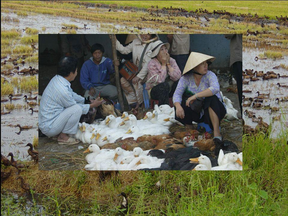 SUD-EST ASIATICO epicentro delle pandemie influenzali I virus influenzali (H5N1 HPAI) sono RESIDENTI nella popolazione di anatre domestiche, con conti