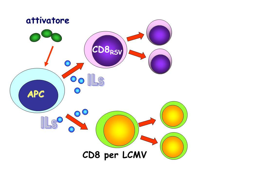 attivatore CD8 RSV APC CD8 per LCMV