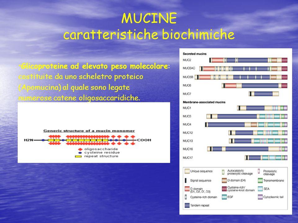 MUCINE caratteristiche biochimiche Glicoproteine ad elevato peso molecolare: costituite da uno scheletro proteico (Apomucina) al quale sono legate num