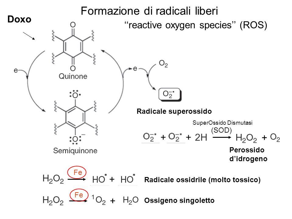 Radicale superossido ++2H + Perossido didrogeno SuperOssido Dismutasi + Radicale ossidrile (molto tossico) + Ossigeno singoletto Fe Formazione di radi