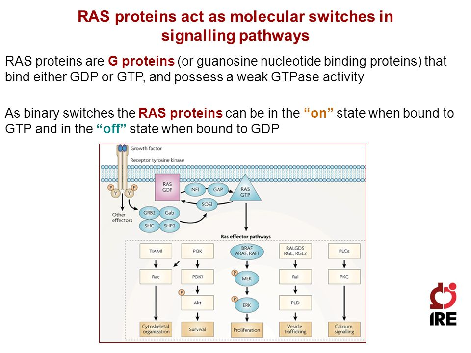 RAS proteins act as molecular switches in signalling pathways RAS proteins are G proteins (or guanosine nucleotide binding proteins) that bind either GDP or GTP, and possess a weak GTPase activity As binary switches the RAS proteins can be in the on state when bound to GTP and in the off state when bound to GDP