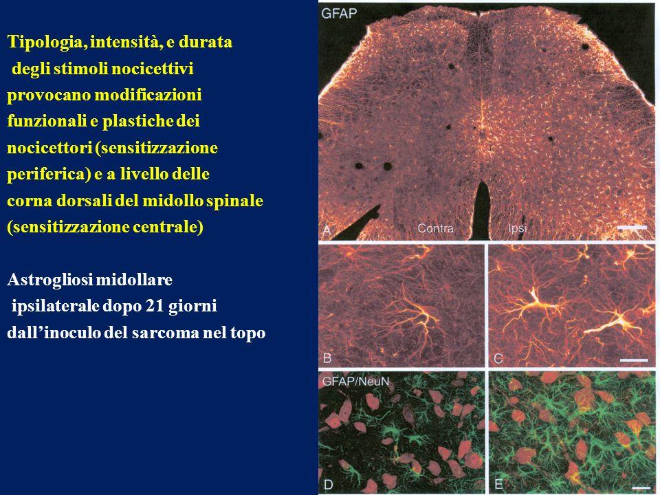 10 Tipologia, intensità, e durata degli stimoli nocicettivi provocano modificazioni funzionali e plastiche dei nocicettori (sensitizzazione periferica) e a livello delle corna dorsali del midollo spinale (sensitizzazione centrale) Astrogliosi midollare ipsilaterale dopo 21 giorni dallinoculo del sarcoma nel topo