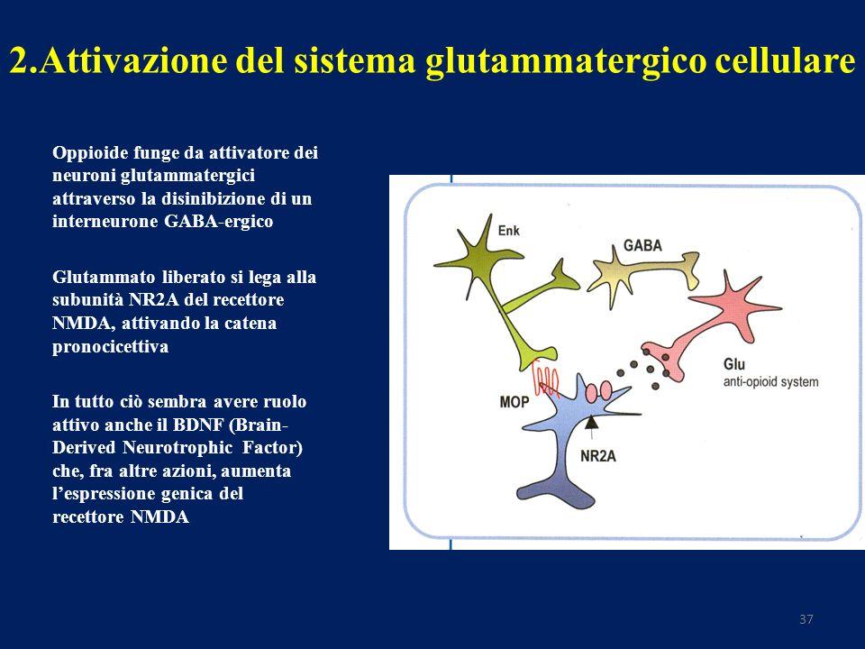 37 2.Attivazione del sistema glutammatergico cellulare Oppioide funge da attivatore dei neuroni glutammatergici attraverso la disinibizione di un interneurone GABA-ergico Glutammato liberato si lega alla subunità NR2A del recettore NMDA, attivando la catena pronocicettiva In tutto ciò sembra avere ruolo attivo anche il BDNF (Brain- Derived Neurotrophic Factor) che, fra altre azioni, aumenta lespressione genica del recettore NMDA