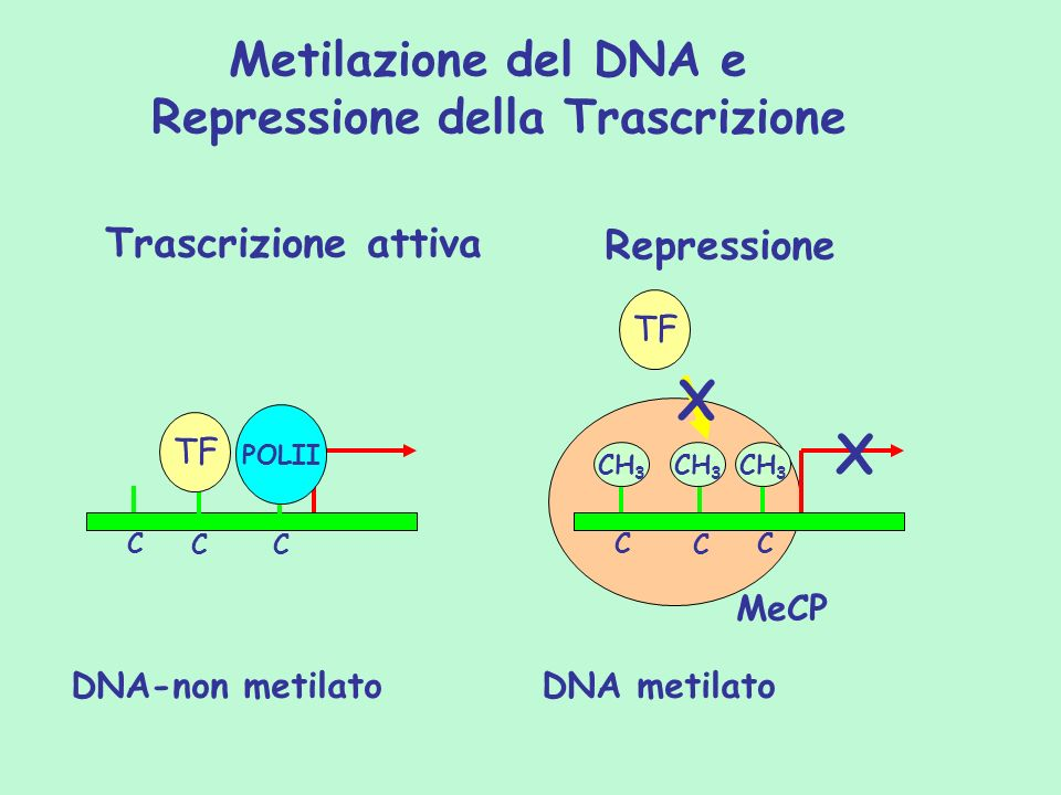 Frequenza di ipermetilazione nelle LMA (n=150) 0 20 40 60 80 100 DAP- KINASI MGMTBRCA-1GSTP1 Unmethylated Methylated