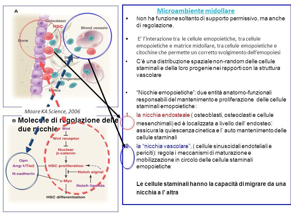 Microambiente midollare N on ha funzione soltanto di supporto permissivo, ma anche di regolazione. E linterazione tra le cellule emopoietiche, tra cel