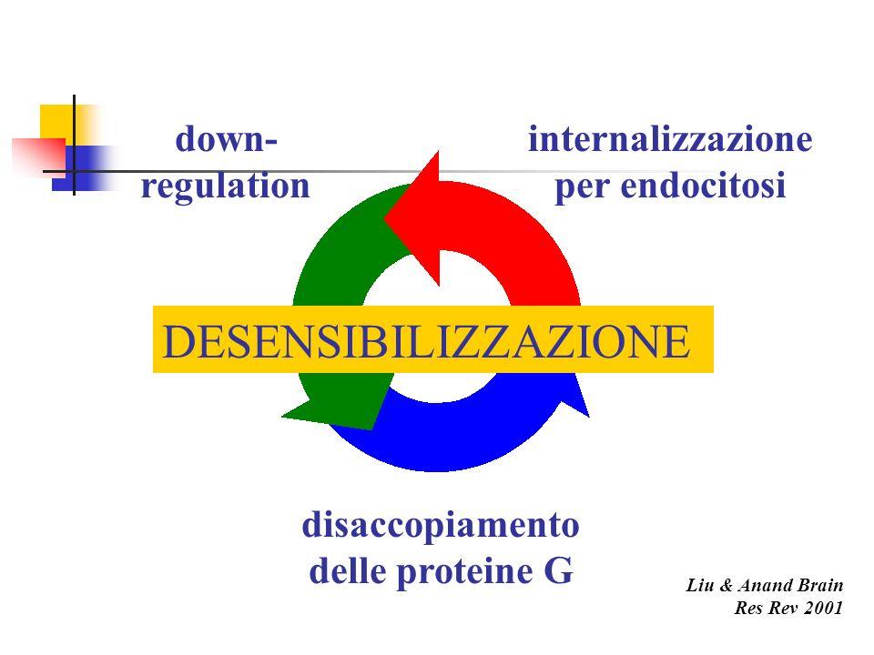 down- regulation internalizzazione per endocitosi disaccopiamento delle proteine G DESENSIBILIZZAZIONE Liu & Anand Brain Res Rev 2001