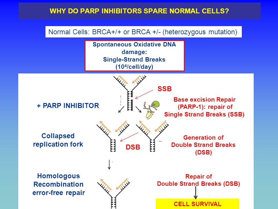 WHY DO PARP INHIBITORS SPARE NORMAL CELLS? Normal Cells: BRCA+/+ or BRCA +/- (heterozygous mutation) Spontaneous Oxidative DNA damage: Single-Strand B
